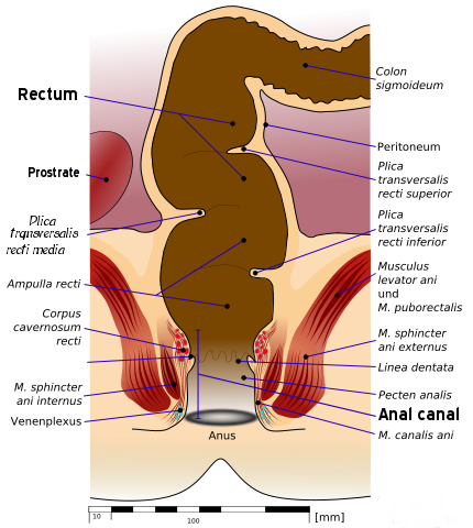 Anatomy_of_human_rectum_and_anus-2